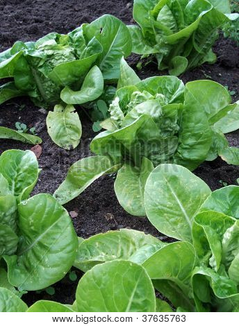 Growing Lettuces
