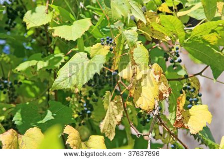 Bunches of wild grapes and leaves