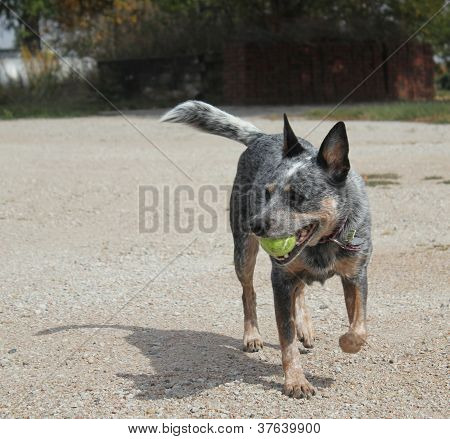 Blue Heeler dog with ball