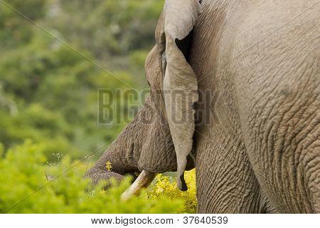 Elephant Delicasy