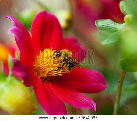 Honey Bee (apis Mellifera) On Dahlia Flower