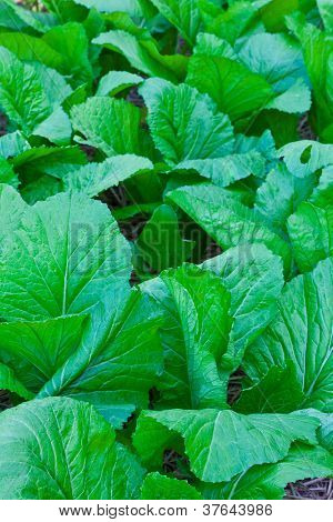 The Green Cabbage