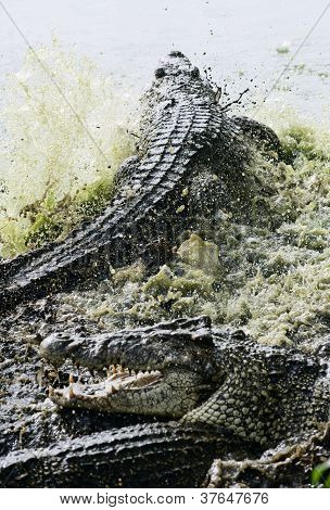 Fighting Cuban Crocodile