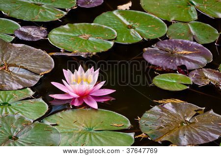 Water-lily in the reservoir