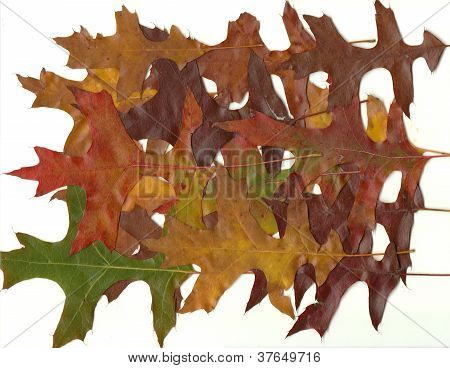 Close-up Collection Fall Autumn Oak Leaves 3