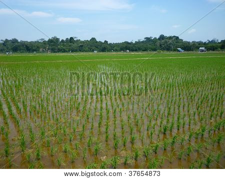 Newly planted rice paddy in Borneo