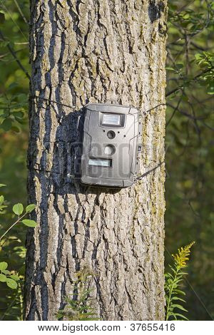 Black Trail Cam On Poplar Tree For Deer Hunting
