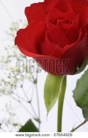 Close Up Of Red Rose Heart