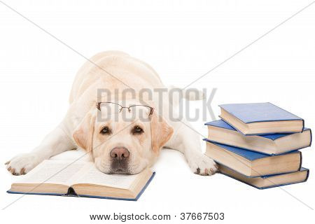 Labrador Retriever With Glasses Reading Books On  Isolated White