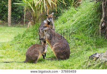 Swamp Wallabies In Park