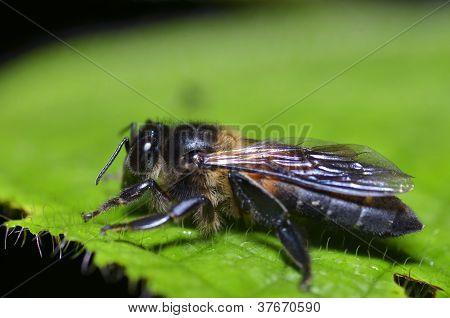 Macro Of Bee