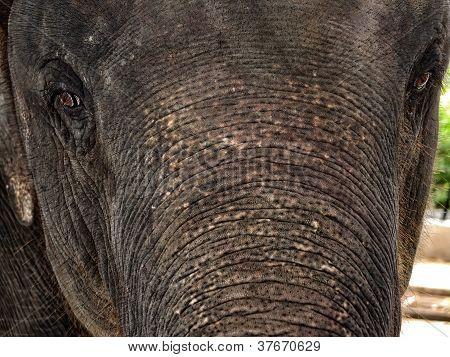 The Elephant Close Up