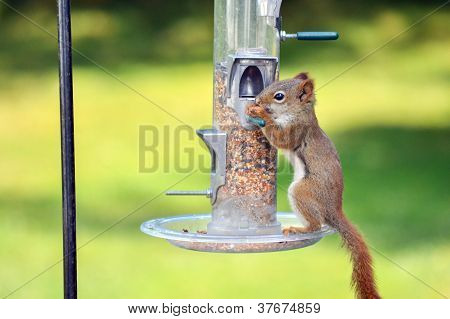 Hungry Brown Squirrel
