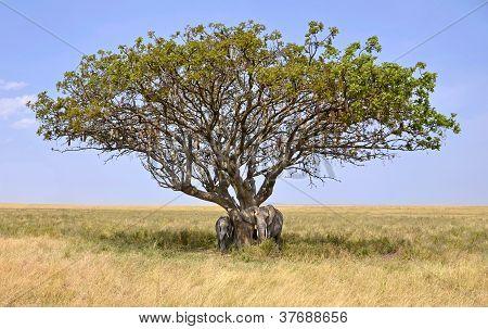 Family Of Elephants Hiding In A Shade Of Acacia Tree