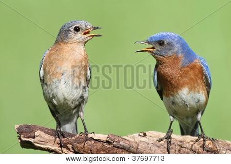 Pair Of Eastern Bluebird