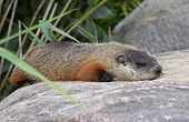 foto of groundhog  - A groundhog  - JPG