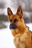 stock photo of seeing eye dog  - German Shepherd dog, standing in the snow