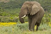 foto of gentle giant  - Large elephant eating with yellow flowers in the background - JPG