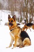 picture of seeing eye dog  - German Shepherd dog - JPG