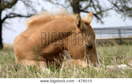 Sleeping Foal