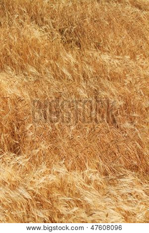 Whet field ready for harversting