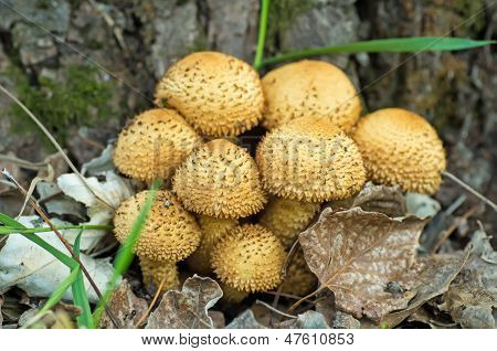 Shaggycap mushrooms (Pholiota squarrosa)