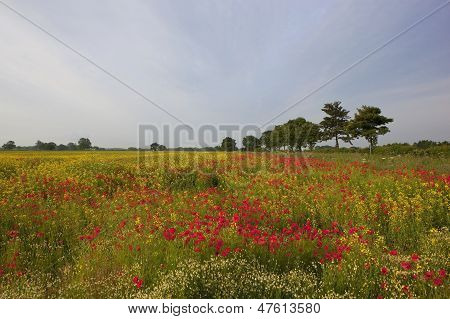 Poppies And Mayweed