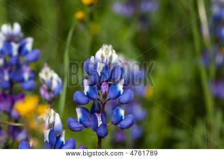 Close Up Of Wild Lupin In Field