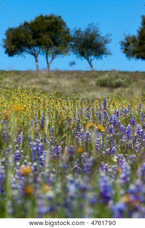 Field Of Wild Flowers With Oak Trees