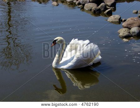 Swan In Pond