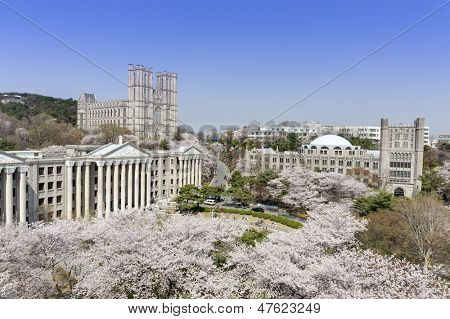 Korean University campus with cherry trees are in full blooms