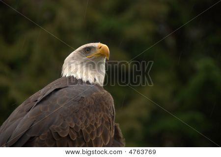 Mature Male Eagle
