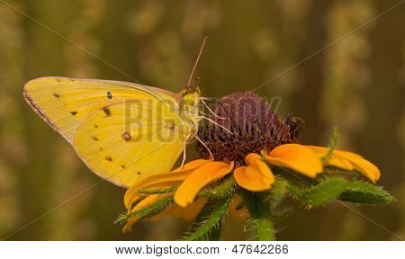 Orange Sulphur butterfly feeding on a Black-eyed Susan flower with summer meadow background