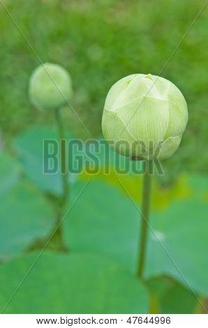 The White Lotus Or Nelumbo Nucifera