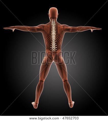 3D render of a male medical skeleton