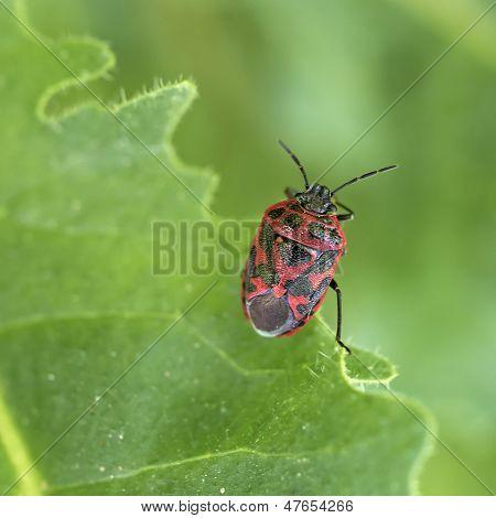 Ornate shield bug closeup