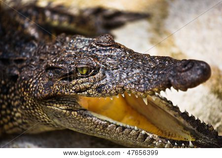 Young Alligator