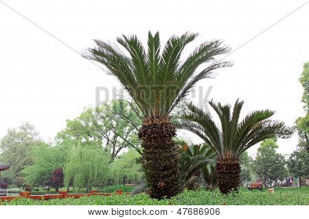 Growth Of Lush Green Cycad