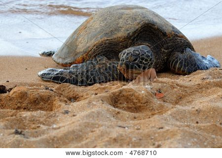 Green Sea Turtle 3