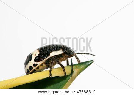 Stinkbug