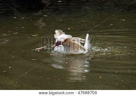 White Muscovy domestic duck