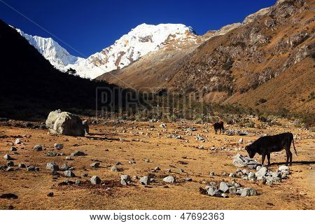 Cattle on Cohup Valley, Cordiliera Blanca, Peru, South America