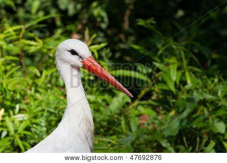 Stork Portrait