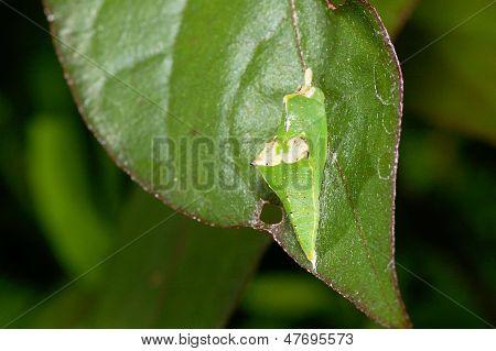 Uma pupa verde