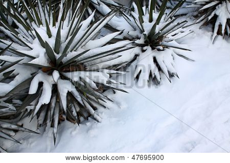 Sisal In The Snow