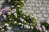 stock photo of climbing roses  - a pink climbing rose on stone wall background - JPG