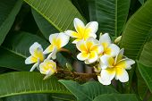 stock photo of champa  - Beautiful white frangipani flowers in tropical garden - JPG