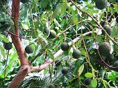picture of avocado tree  - this is a lush green healthy farm grown organic avocado