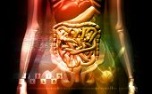 image of excretory  - Digital illustration of a human digestive system and Skelton - JPG