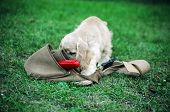 image of friendship belt  - cocker spaniel puppy playing with construction workers tool belt - JPG